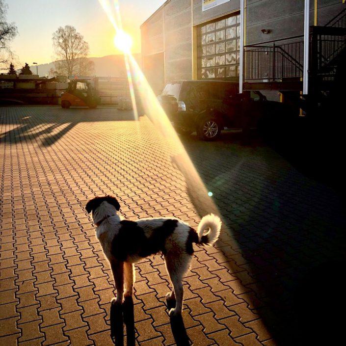 Sam Simon - Bürohund bei Sifatec. Das Flachdachgerüst.